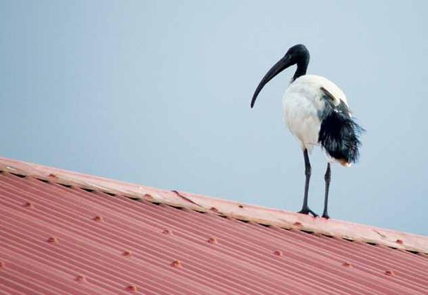 קלף ציפו המגלן על הגג
