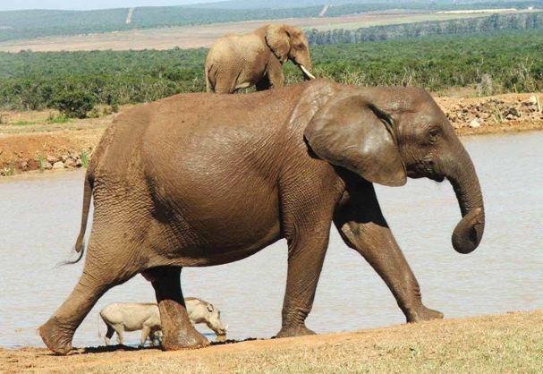 קלף הפיל